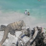 Iguana on a rock