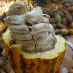 Ticul = harvest cacao