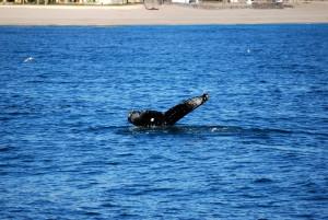 Puerto Penasco whale